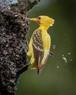 The cream-coloured woodpecker is a real life Pikachu..jpg