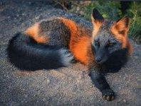 this_cross_fox.jpg